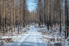 Мертвый лес в зиме Стоковые Изображения RF