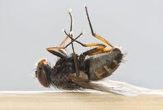 мертвый макрос мухы Стоковые Изображения RF