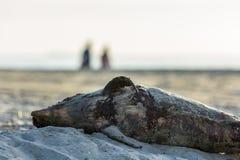 Мертвый морской свинья гавани помытый на берег Стоковые Фотографии RF