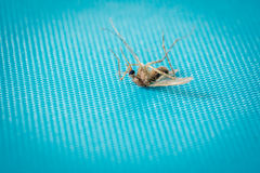мертвый москит Стоковая Фотография RF