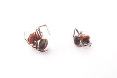Мертвый муравей Стоковое фото RF