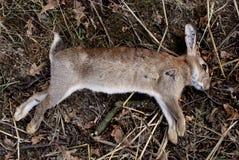 Мертвый одичалый кролик Стоковые Фото