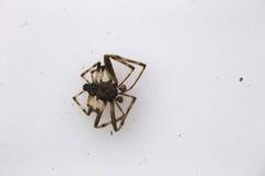 Мертвый паук на белизне Стоковая Фотография