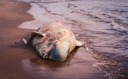 Мертвый пляж кита Стоковое Фото