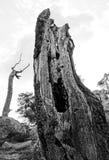 Мертвый ствол дерева в лесе Фонтенбло Стоковые Изображения
