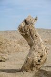 Мертвый ствол дерева в пустыне Гоби Стоковая Фотография RF