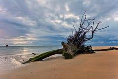 Мертвый ствол дерева на тропическом пляже Стоковое Фото