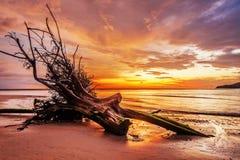 Мертвый ствол дерева на тропическом пляже Стоковая Фотография