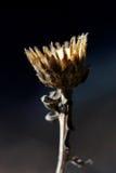 Мертвый стручок семени Стоковое Фото