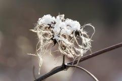 Мертвый цветок graybeard немножко покрытый под льдом Стоковое Фото