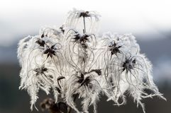 Мертвый цветок graybeard немножко покрытый под льдом Стоковое Изображение RF