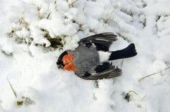 Мертвый bullfinch птицы (pyrrhula Pyrrhula, евроазиатский Bullfinch) во времени холода зимы Стоковые Фотографии RF
