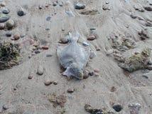 Мертвый flounder на песке Стоковое Фото