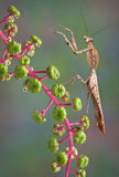 Мертвый mantis листьев Стоковые Изображения RF