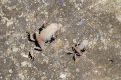 2 мертвых общих жабы лежат на старой конкретной поверхности с животом вверх Стоковые Фотографии RF