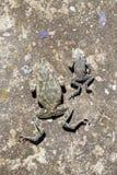 2 мертвых общих жабы лежат на старой конкретной поверхности Стоковая Фотография RF