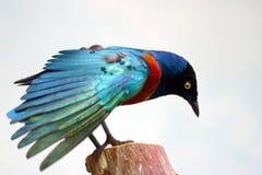Мерцающий голубой и зеленый превосходный starling сидя na górze усеченного ствола дерева распространяя крыла и l Стоковое Фото