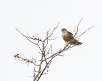 Мерлин садился на насест в дереве Стоковое фото RF