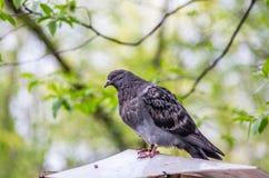 Места голубя на загородке Стоковая Фотография RF