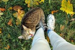 Места кота на упаденных желтых кленовых листах приближают к 2 футам Стоковые Изображения RF