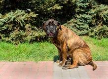 Места щенка Bullmastiff Стоковые Фото