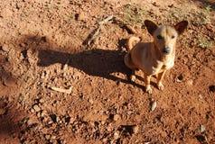 Местная собака Таиланда и Юго-Восточной Азии Стоковые Изображения RF