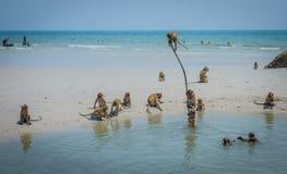 Местные одичалые обезьяны играют пляж Таиланд Hua Hin Стоковое Изображение