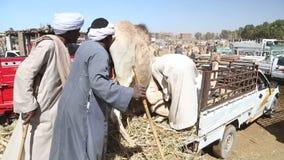 Местные продавцы верблюда на верблюде выходят верблюдов вышед на рынок на рынок загрузки к тележкам видеоматериал