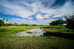 Местные тайские буйволы принимают ванну в болоте Стоковое Фото