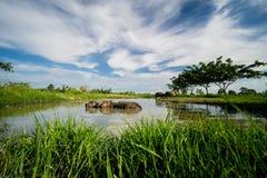 Местные тайские буйволы принимают ванну в болоте Стоковые Фотографии RF