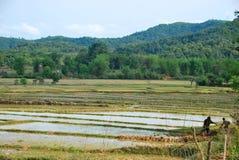Местные фермеры рискуют их жизнь в полях рисовых полей около равнины археологических раскопок опарников Стоковое Фото