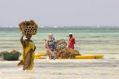 Местные люди Занзибара собирая келп стоковое фото