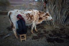 Местный казах женщина доя корову внешнюю Стоковое Изображение RF