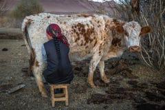 Местный казах женщина доя корову внешнюю Стоковое Изображение