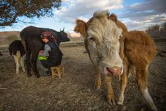 Местный казах женщина доя корову внешнюю Стоковые Фото