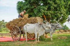 Местный человек разгржая сено от тележки вола в Мьянме Бирме Стоковая Фотография RF