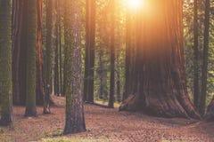 Место леса гигантской секвойи Стоковое Изображение