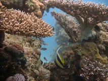 место коралла Стоковые Фотографии RF