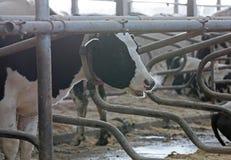 Коровы молочной фермы и молока Стоковая Фотография RF