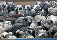 Коровы молочной фермы и молока Стоковые Фото
