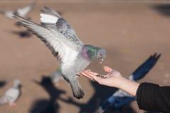 место руки dove принципиальной схемы стоковые фотографии rf