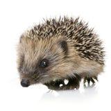 месяцы 1 hedgehog Стоковые Изображения