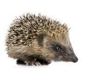 месяцы 1 hedgehog стоковое изображение rf