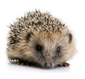 месяцы 1 hedgehog Стоковое Изображение