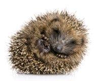 месяцы 1 hedgehog Стоковые Изображения RF