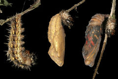 Метаморфоза бабочки, гусеницы и куколок дамы Painted Стоковые Фотографии RF