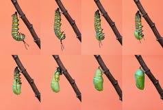 Метаморфоза бабочки монарха от гусеницы к chrysalis Стоковое фото RF