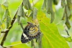Метаморфоза бабочки от кокона и подготавливает к летать на ветвь в саде Стоковое Фото