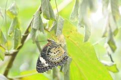 Метаморфоза бабочки от кокона и подготавливает к летать на ветвь в саде Стоковые Изображения RF