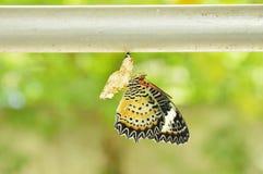 Метаморфоза бабочки от кокона и подготавливает к летать на алюминиевую бельевую веревку в саде Стоковое фото RF